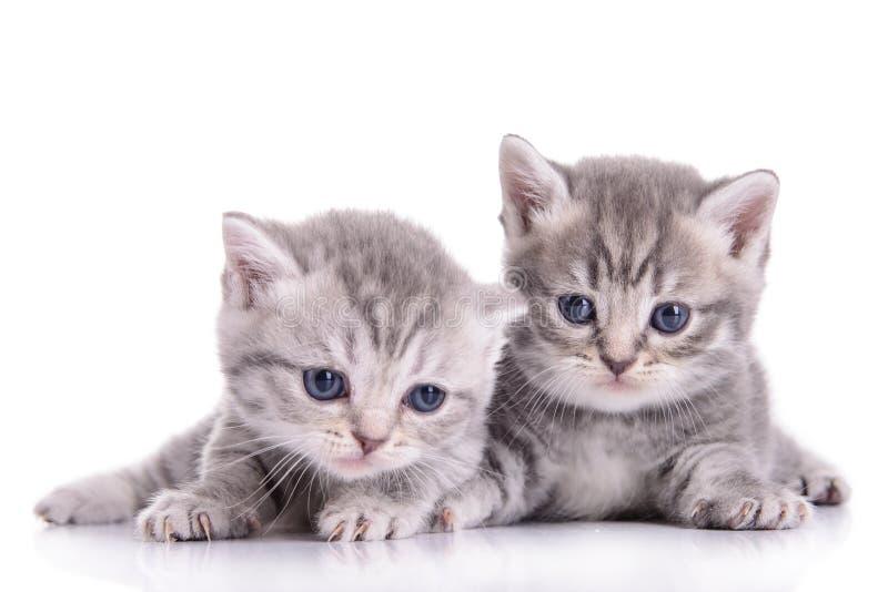 Μικρά σκωτσέζικα γατάκια στοκ φωτογραφίες