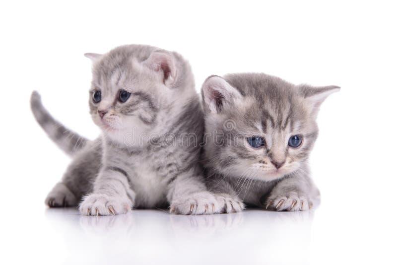 Μικρά σκωτσέζικα γατάκια στοκ εικόνες