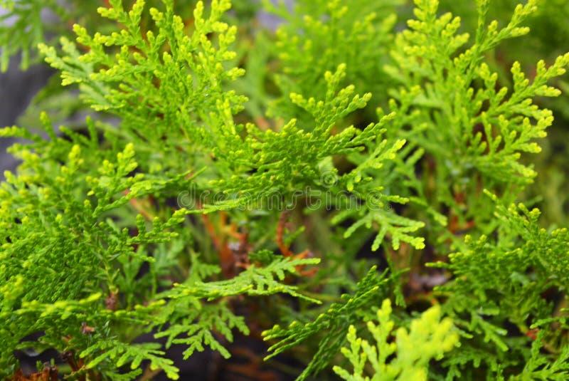 Μικρά σπορόπαιδα Thuja Western Aurea Nana, ασυνήθιστο ευαίσθητο πράσινο φόντο στοκ εικόνα