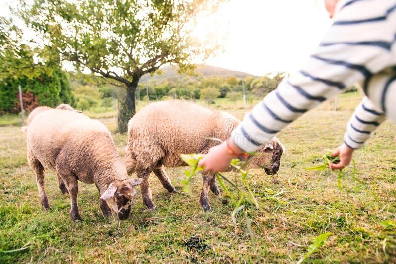 Μικρά ταΐζοντας πρόβατα κοριτσιών στο αγρόκτημα στοκ φωτογραφίες