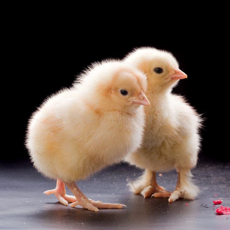Μικρά χνουδωτά κοτόπουλα στοκ εικόνες