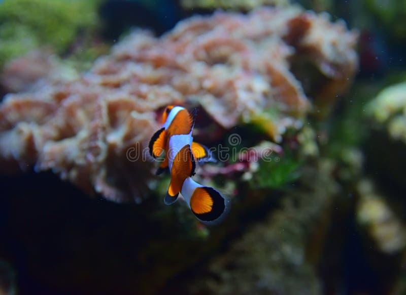 Μικρά ψάρια κλόουν που γυρίζουν μακριά στην πλάτη με τα διαφορετικά κοράλλια στο υπόβαθρο στοκ φωτογραφία