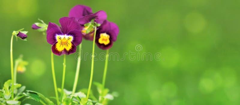 Μικρά όμορφα violas στοκ φωτογραφία με δικαίωμα ελεύθερης χρήσης