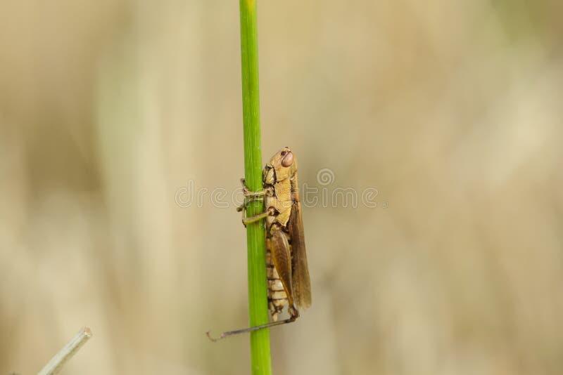 Μικρά grasshoppers στις εγκαταστάσεις ρυζιού στοκ φωτογραφία
