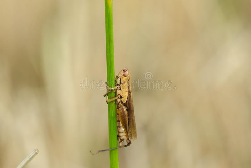 Μικρά grasshoppers στις εγκαταστάσεις ρυζιού στοκ φωτογραφία με δικαίωμα ελεύθερης χρήσης