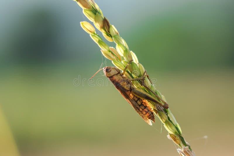 Μικρά grasshoppers στις εγκαταστάσεις ρυζιού στη φύση στοκ φωτογραφίες
