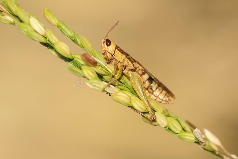 Μικρά grasshoppers στις εγκαταστάσεις ρυζιού στη φύση στοκ φωτογραφία