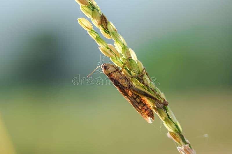 Μικρά grasshoppers στις εγκαταστάσεις ρυζιού στη φύση στοκ εικόνες