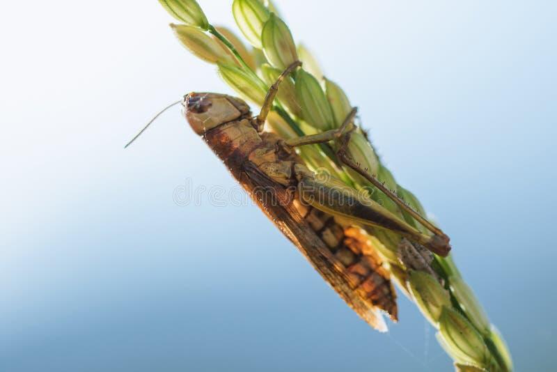 Μικρά grasshoppers στις εγκαταστάσεις ρυζιού στη φύση στοκ φωτογραφία με δικαίωμα ελεύθερης χρήσης