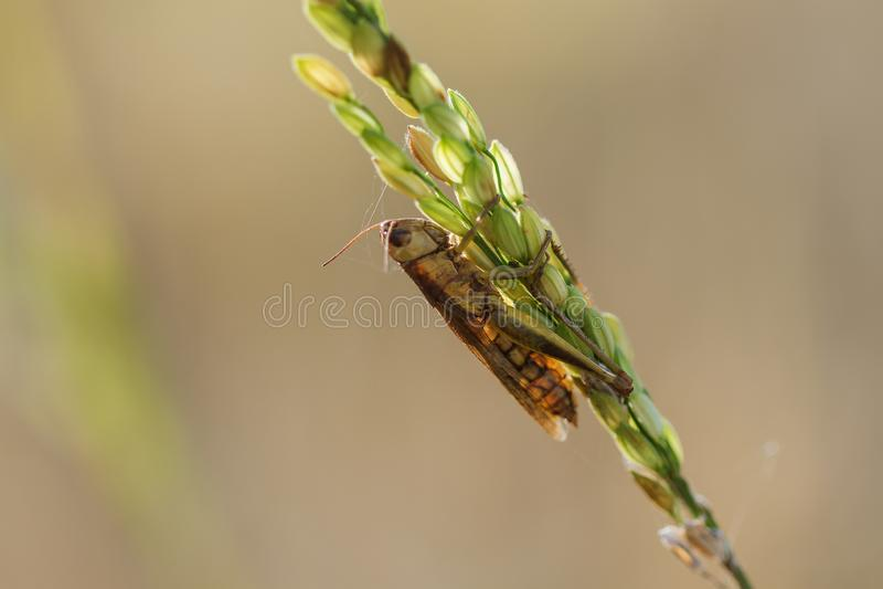 Μικρά grasshoppers στις εγκαταστάσεις ρυζιού στη φύση στοκ εικόνα με δικαίωμα ελεύθερης χρήσης