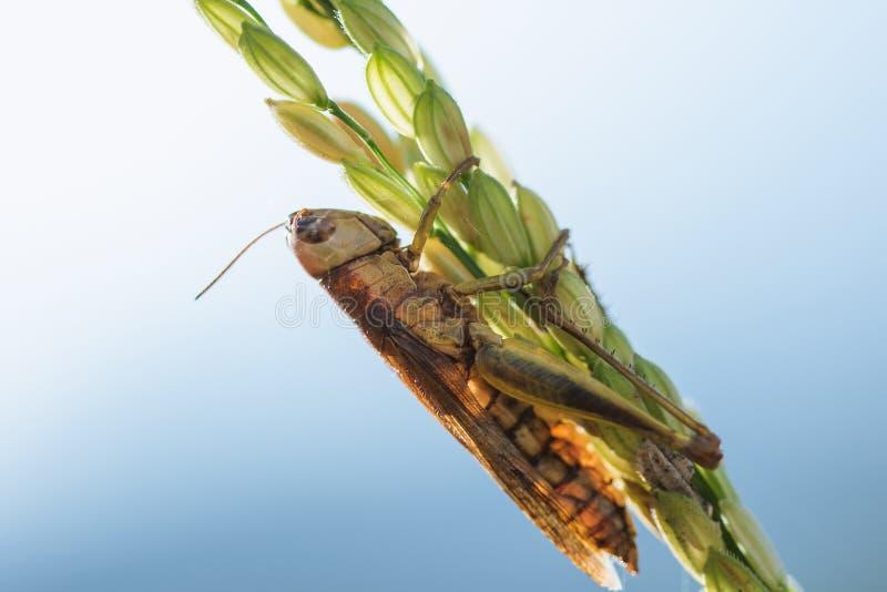 Μικρά grasshoppers στις εγκαταστάσεις ρυζιού στη φύση στοκ εικόνες με δικαίωμα ελεύθερης χρήσης