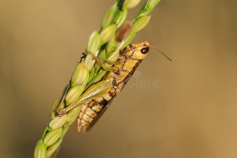 Μικρά grasshoppers στις εγκαταστάσεις ρυζιού στη φύση στοκ φωτογραφίες με δικαίωμα ελεύθερης χρήσης