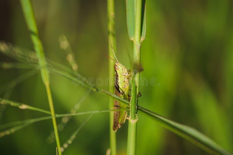 Μικρά grasshoppers στις εγκαταστάσεις ρυζιού στους τομείς στοκ φωτογραφία με δικαίωμα ελεύθερης χρήσης