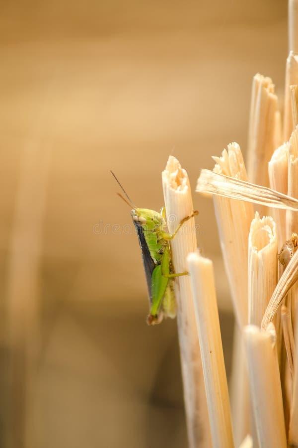 Μικρά grasshoppers στις εγκαταστάσεις ρυζιού στους τομείς στοκ φωτογραφία