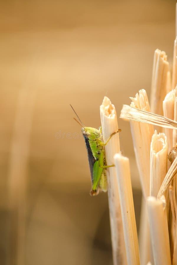 Μικρά grasshoppers στις εγκαταστάσεις ρυζιού στους τομείς στοκ εικόνα με δικαίωμα ελεύθερης χρήσης