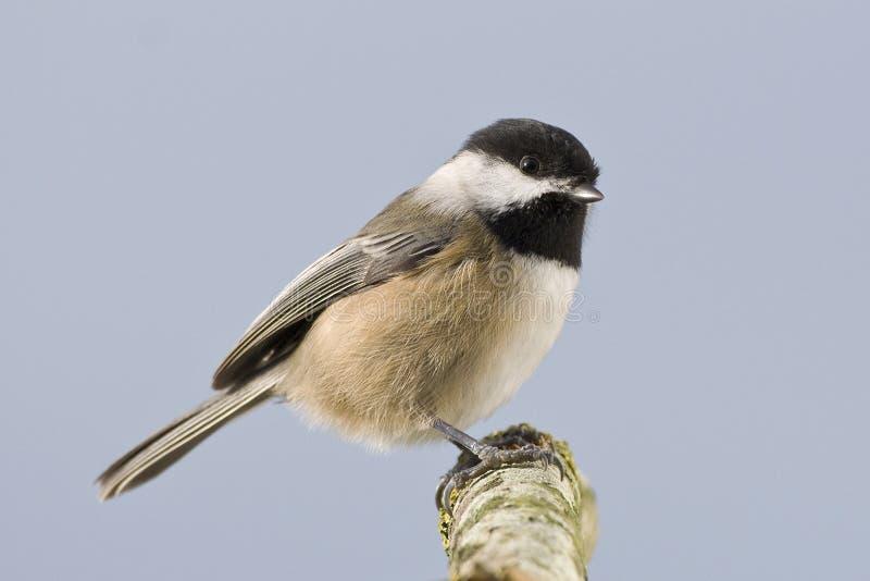 μικρές άγρια περιοχές chickadee πο στοκ φωτογραφία με δικαίωμα ελεύθερης χρήσης
