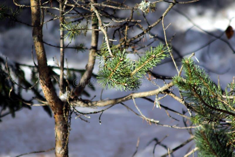 Μικρές λεπτομέρειες ενός δέντρου βουνών στοκ εικόνα