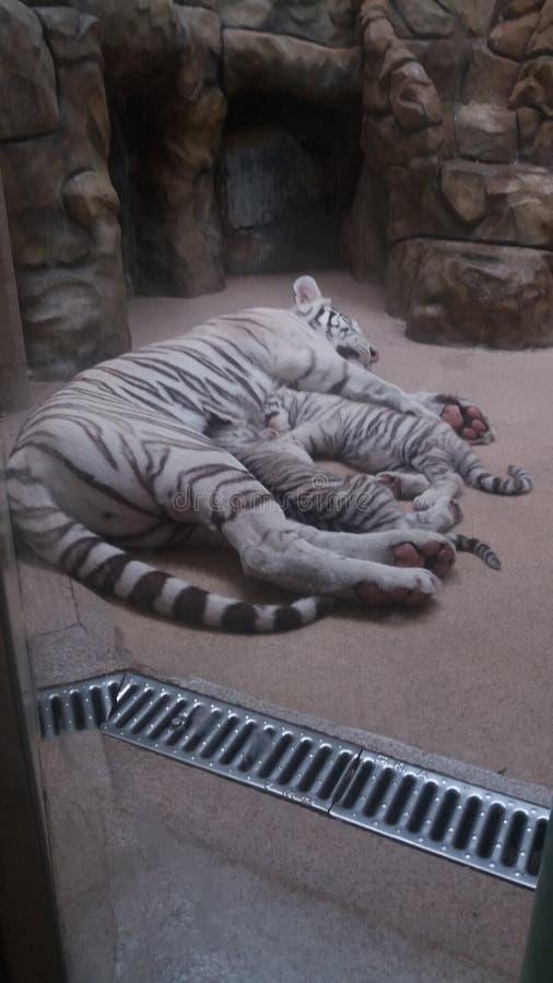 Μικρές τίγρες και μεγάλη τίγρη στοκ φωτογραφίες με δικαίωμα ελεύθερης χρήσης