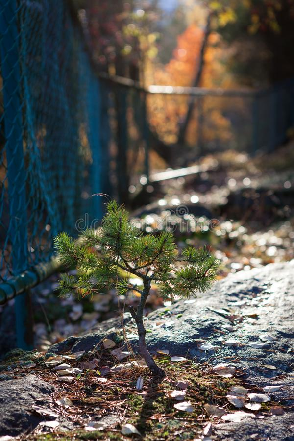 Μικρή ανάπτυξη πεύκων στο δασικό πάρκο στοκ εικόνες με δικαίωμα ελεύθερης χρήσης