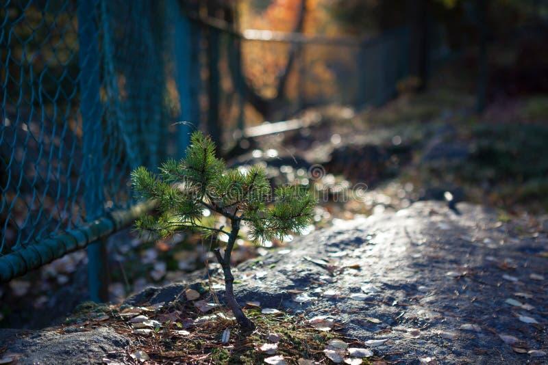 Μικρή ανάπτυξη πεύκων στο δασικό πάρκο στοκ εικόνες