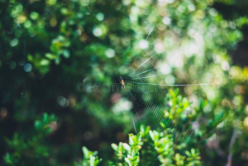 Μικρή αράχνη στον Ιστό αραχνών του με τα θολωμένα πράσινα φύλλα στο υπόβαθρο στοκ εικόνες