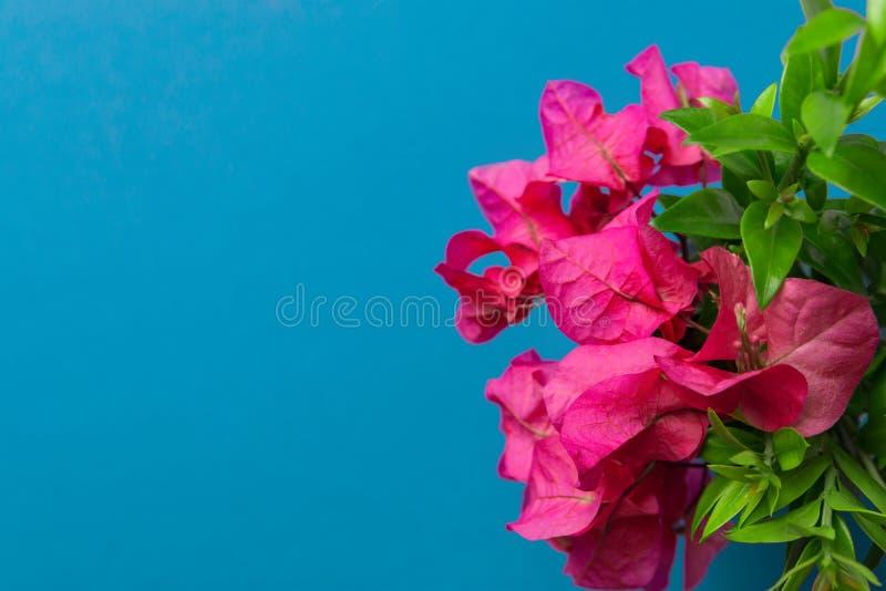Μικρή κομψή ανθοδέσμη πράσινων κλαδίσκων λουλουδιών κήπων των φούξια ρόδινων στο μπλε υπόβαθρο κιρκιριών Δημιουργικό μινιμαλιστικ στοκ φωτογραφίες