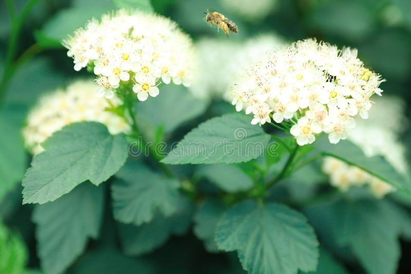 Μικρή μέλισσα που πετά κοντά στο τροπικό φυτό με τα λουλούδια και τα φύλλα στοκ εικόνα με δικαίωμα ελεύθερης χρήσης