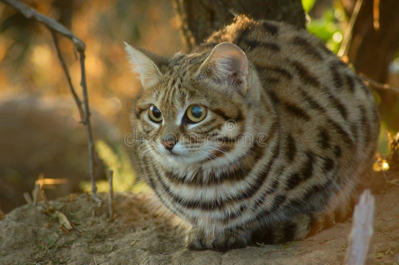 Μικρή μαύρη πληρωμένη γάτα (felis negripes) στοκ φωτογραφίες με δικαίωμα ελεύθερης χρήσης
