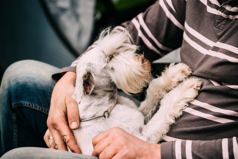 Μικρή μικροσκοπική συνεδρίαση Zwergschnauzer σκυλιών Schnauzer στα χέρια στοκ φωτογραφία με δικαίωμα ελεύθερης χρήσης