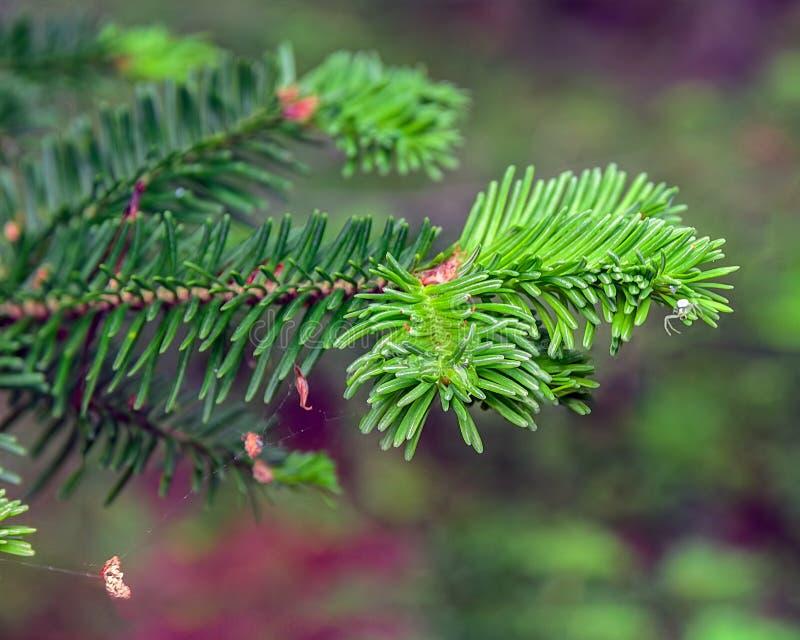 Μικρή μπλε αράχνη fir-tree στενό σε έναν επάνω κλάδων στοκ φωτογραφία με δικαίωμα ελεύθερης χρήσης