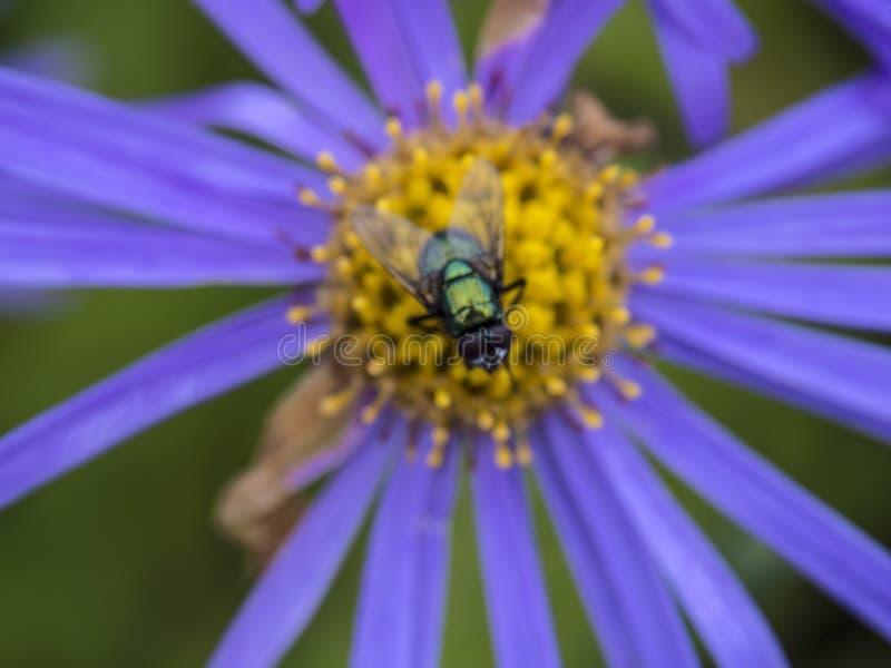 Μικρή μύγα στοκ εικόνες