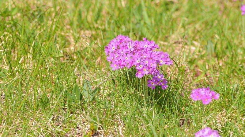 Μικρή ομάδα αλπικών ρόδινων λουλουδιών στοκ φωτογραφία