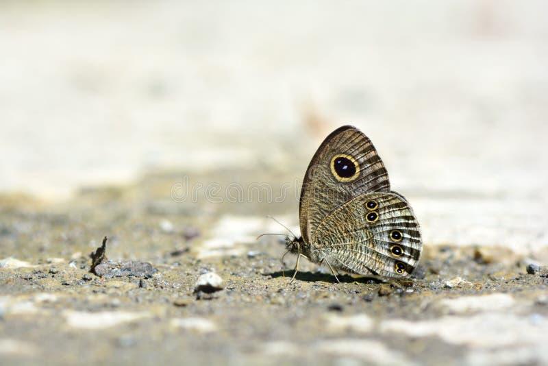 Μικρή πεταλούδα πλέγματος φιδιών κυματισμών της Ταϊβάν στοκ φωτογραφία με δικαίωμα ελεύθερης χρήσης