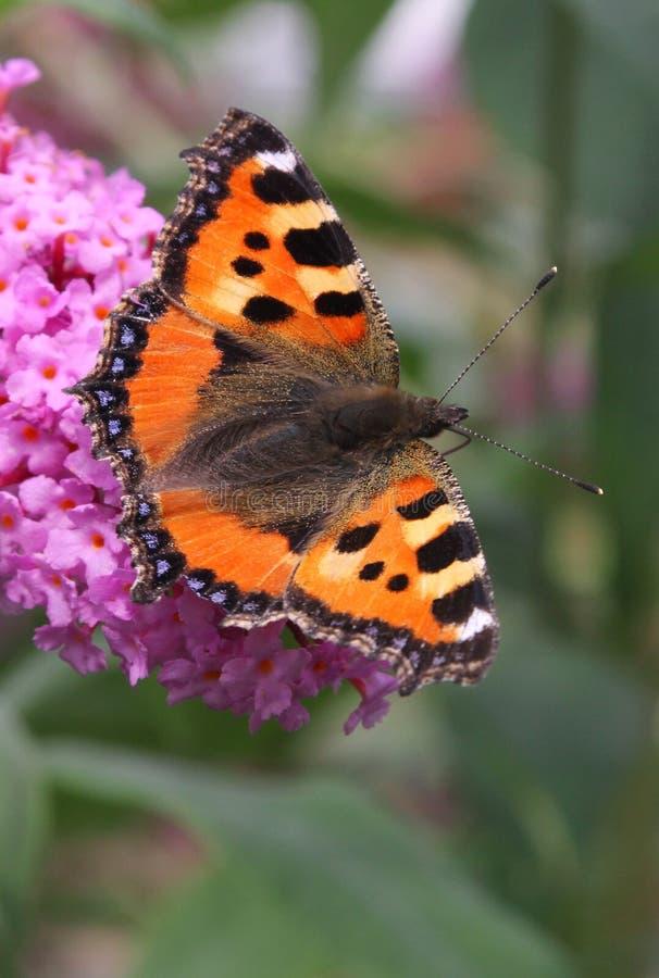 Μικρή πεταλούδα ταρταρουγών στον πεταλούδα-Μπους στοκ φωτογραφία με δικαίωμα ελεύθερης χρήσης