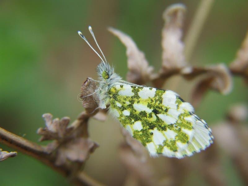 Μικρή πεταλούδα στοκ εικόνα με δικαίωμα ελεύθερης χρήσης