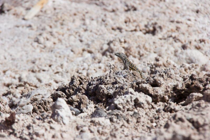 Μικρή πορτοκαλιά γκρίζα σαύρα στον αλμυρό βράχο σε Atacama στοκ φωτογραφία με δικαίωμα ελεύθερης χρήσης