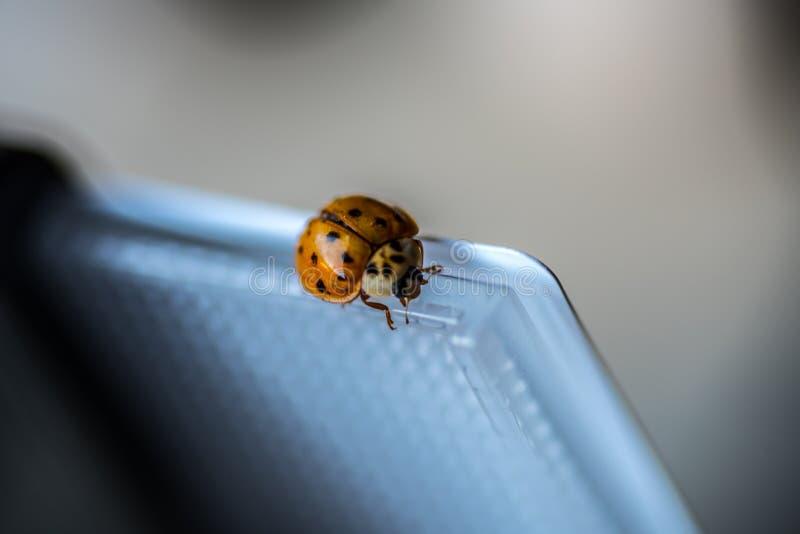 Μικρή πορτοκαλιά μακροεντολή ladybug στοκ φωτογραφίες με δικαίωμα ελεύθερης χρήσης