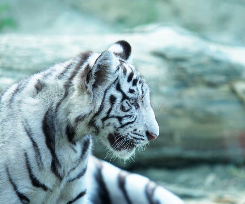 μικρή τίγρη στοκ εικόνες