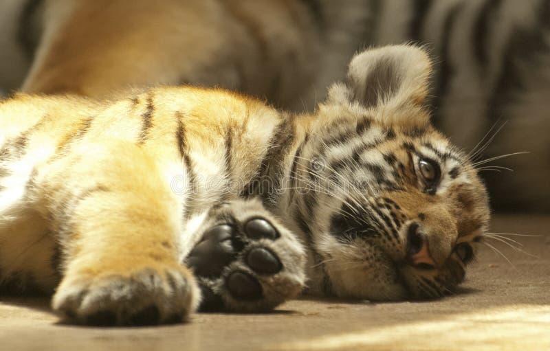 Μικρή τίγρη στοκ εικόνες με δικαίωμα ελεύθερης χρήσης