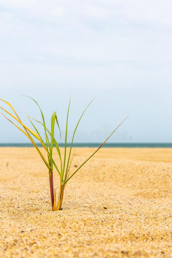 Μικρή τούφα της χλόης θάλασσας στην άμμο από τον ωκεανό στοκ εικόνα