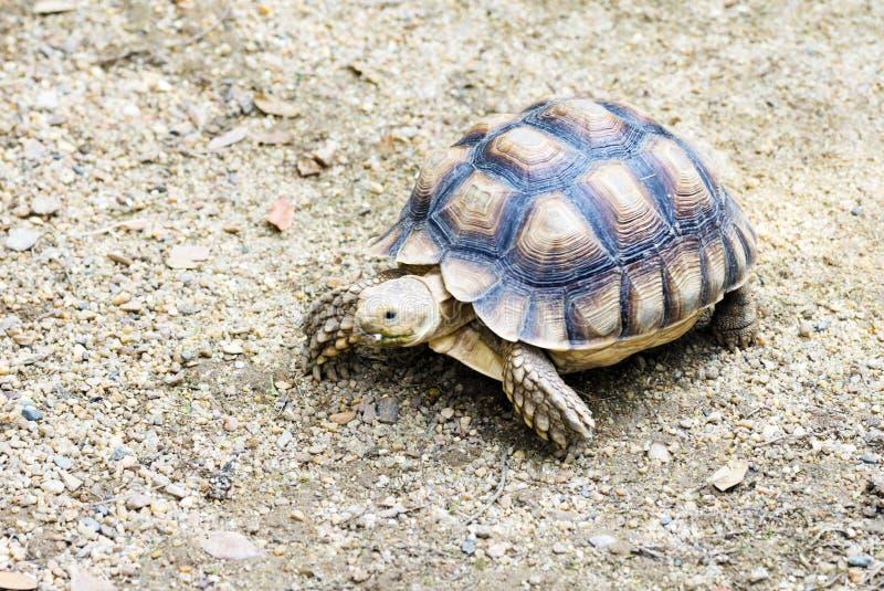 μικρή χελώνα στοκ φωτογραφίες με δικαίωμα ελεύθερης χρήσης