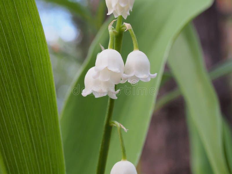 Μικροί άσπροι οφθαλμοί των κρίνων της κοιλάδας Άγρια δασικά λουλούδια άνοιξη στοκ φωτογραφία με δικαίωμα ελεύθερης χρήσης