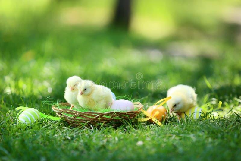 Μικροί νεοσσοί στο καλάθι στοκ εικόνα