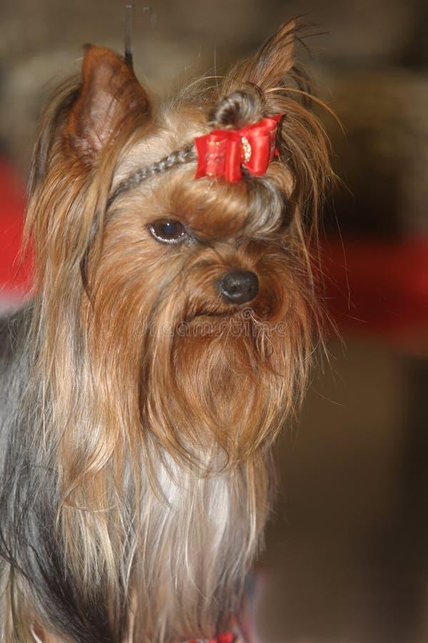 μικρογραφία σκυλιών στοκ φωτογραφίες με δικαίωμα ελεύθερης χρήσης