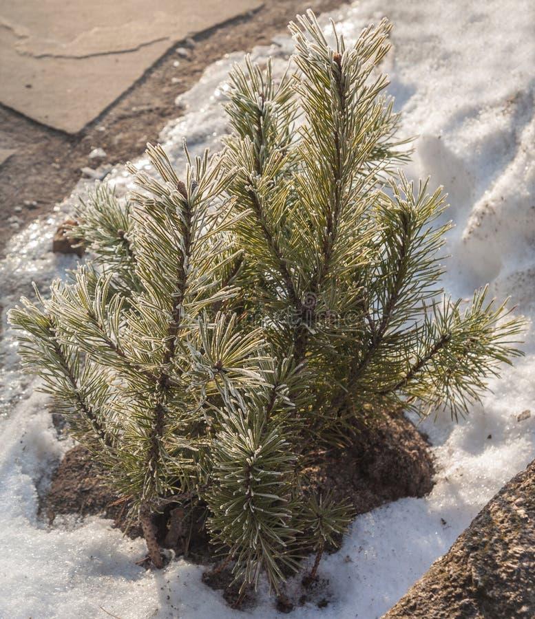 Μικροκαμωμένος κέδρος το χειμώνα στοκ εικόνα με δικαίωμα ελεύθερης χρήσης