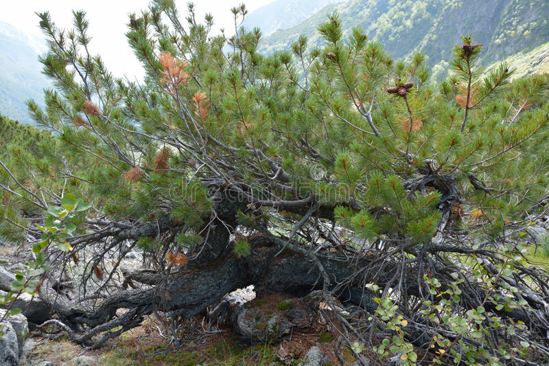 Μικροκαμωμένο ξύλο κέδρων στις κλίσεις της σειράς Barguzin στοκ φωτογραφίες