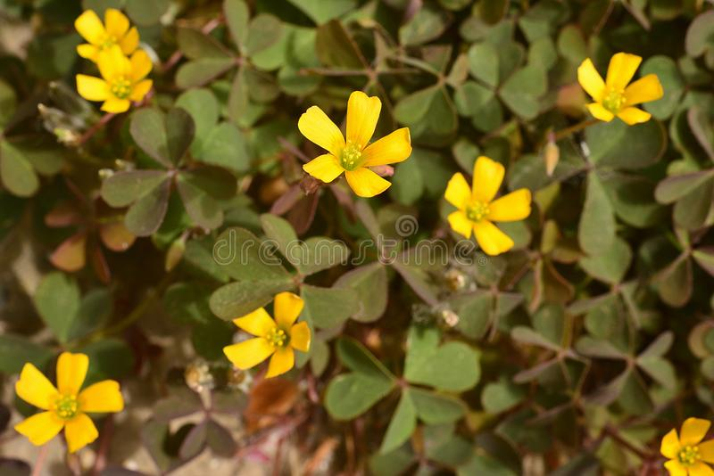 Μικροσκοπικά κίτρινα λουλούδια, τα φύλλα του τριφυλλιού όπως μέσα στοκ φωτογραφία