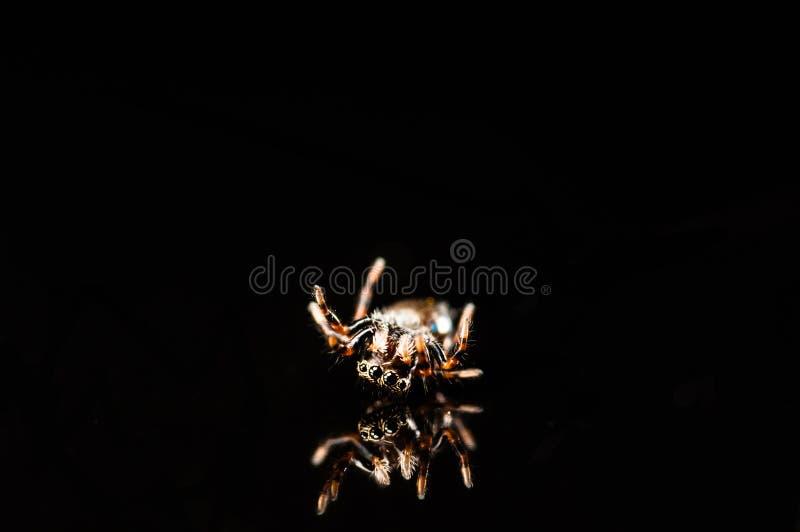 Μικροσκοπική αράχνη άλματος με την αντανάκλαση που απομονώνεται στο Μαύρο στοκ φωτογραφίες