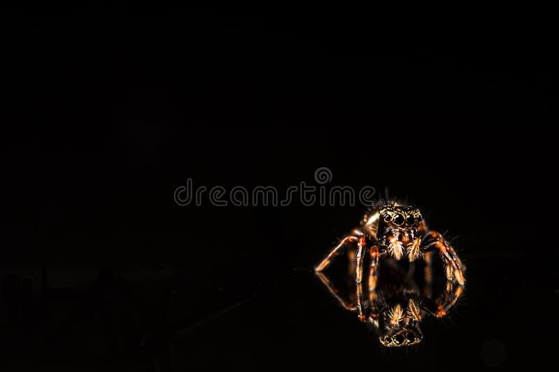 Μικροσκοπική αράχνη άλματος με την αντανάκλαση που απομονώνεται στο Μαύρο στοκ εικόνα