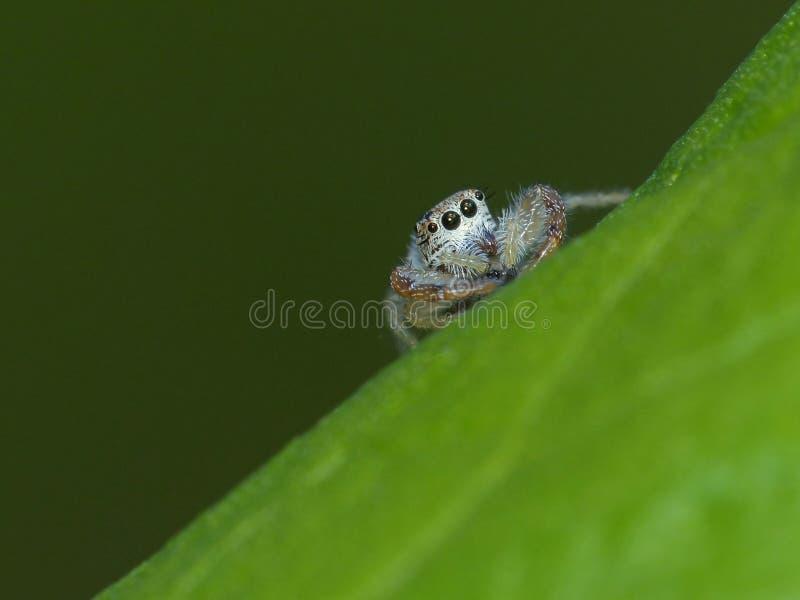 Μικροσκοπική αράχνη άλματος που εξετάζει τη κάμερα στοκ φωτογραφία